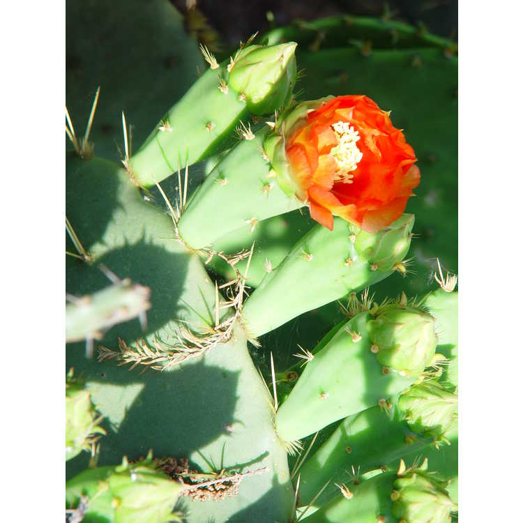 Opuntia - prickly-pear