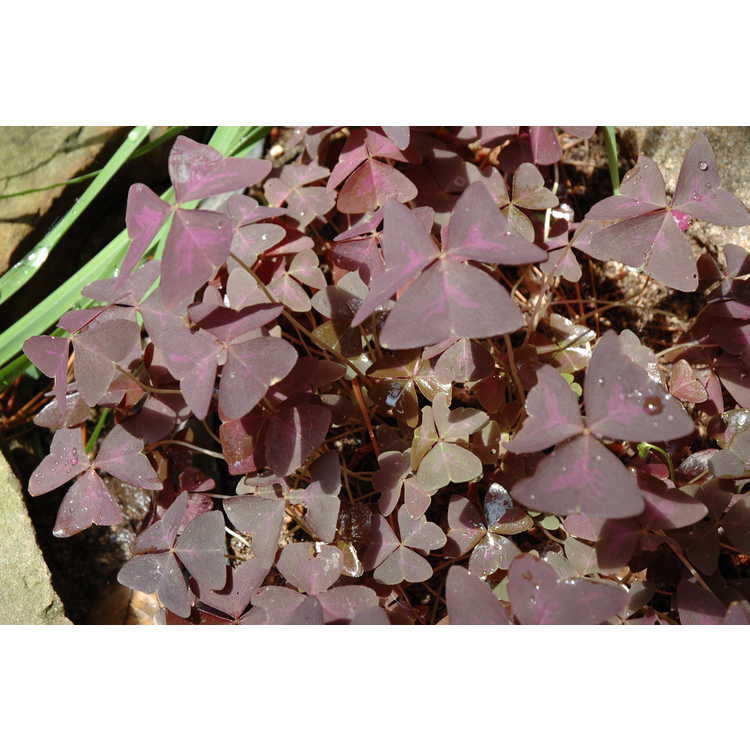 Oxalis triangularis subsp. papilionacea - purple shamrock