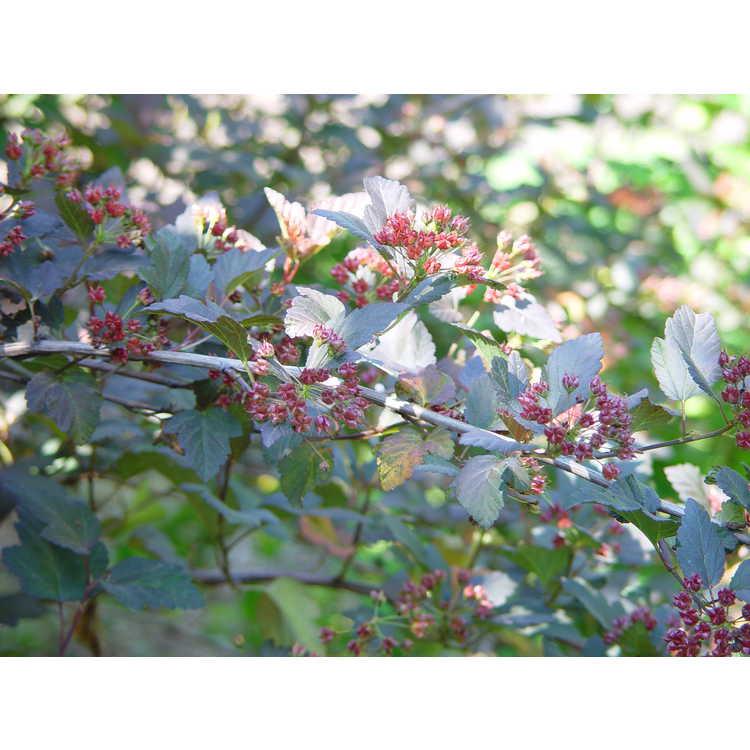 Physocarpus opulifolius 'Monlo'