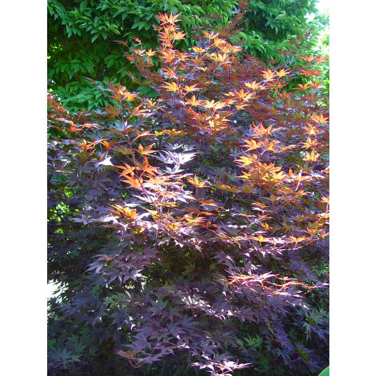 Acer palmatum 'Moonfire'