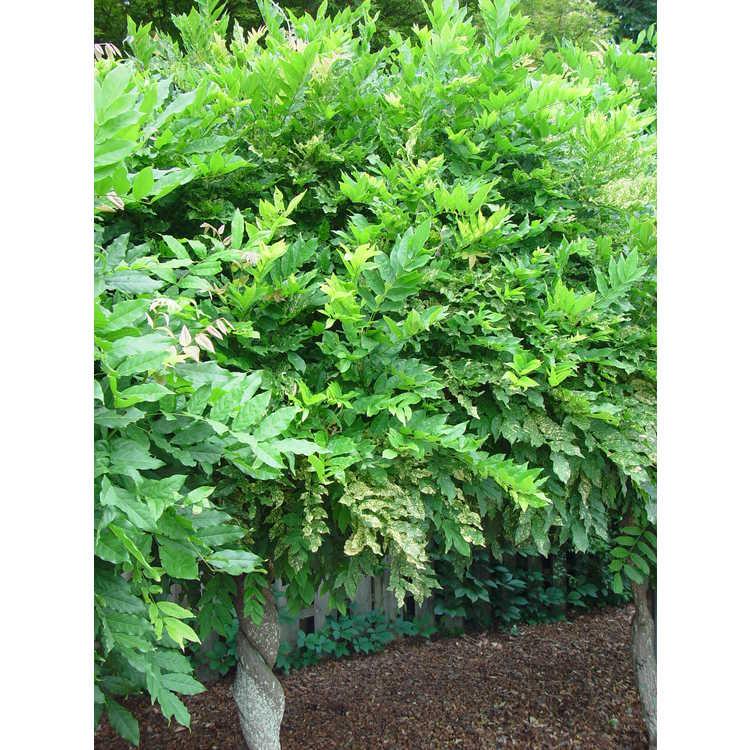 Wisteria floribunda 'Mon Nishiki' - variegated Japanese wisteria