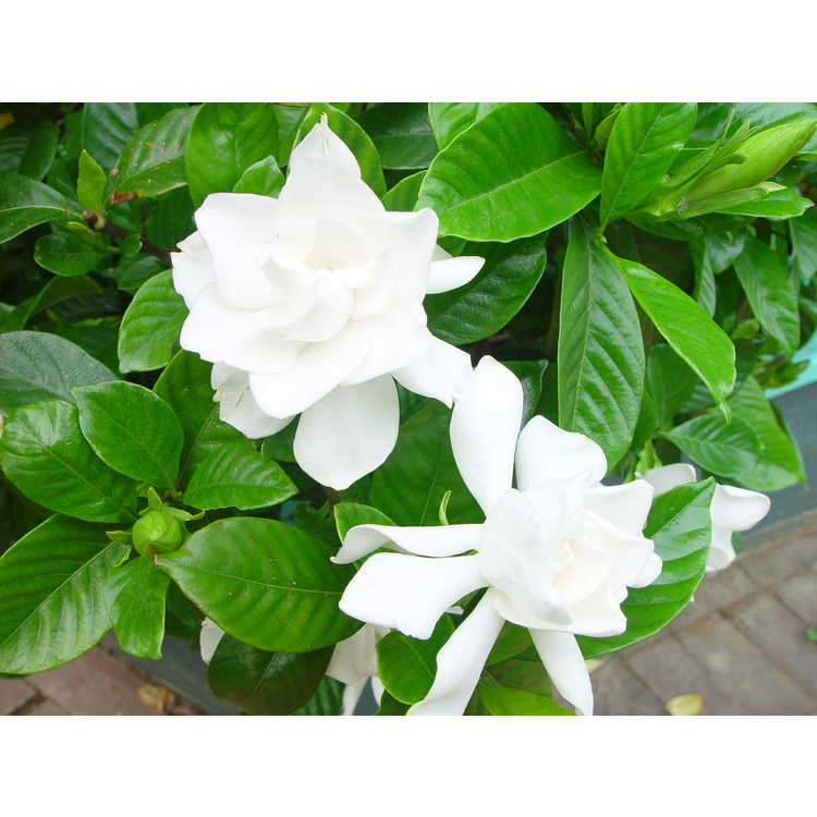 Gardenia jasminoides 'Michael'