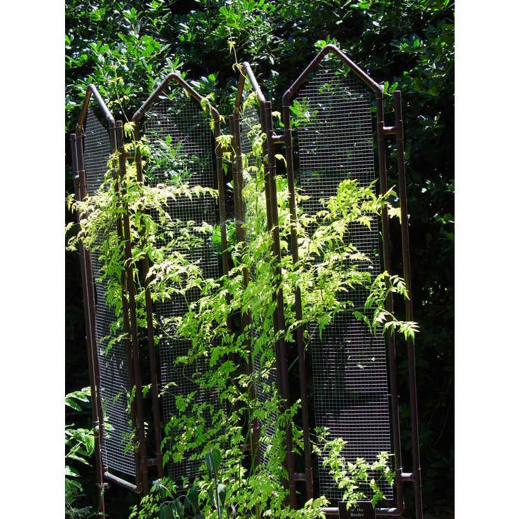 Jasminum officinale 'Frojas' - Fiona Sunrise golden poet's jasmine