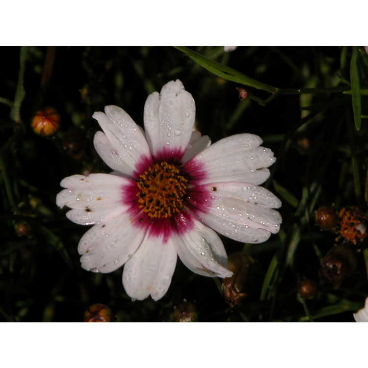 Coreopsis-Sweet-Dreams-002.JPG