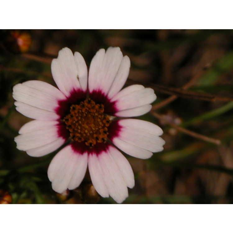 Coreopsis-Sweet-Dreams-003.JPG