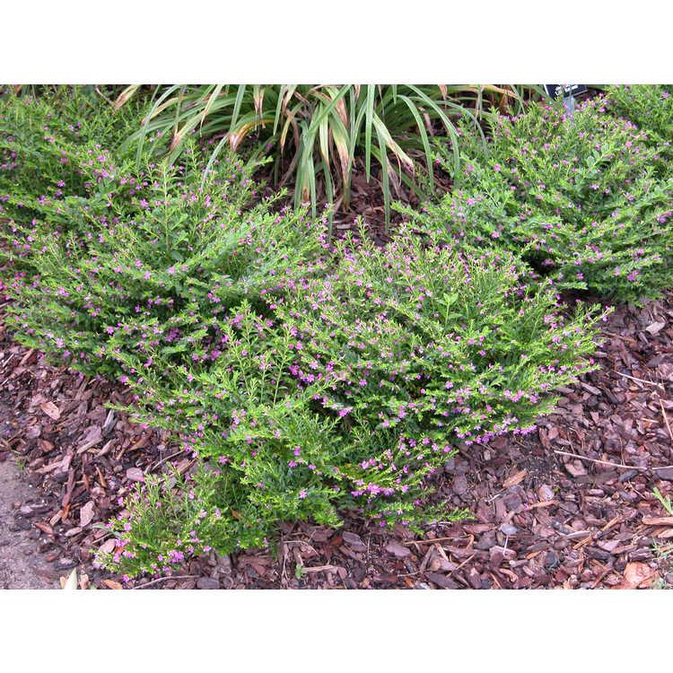Cuphea-hyssopifolia-001-7-04.JPG