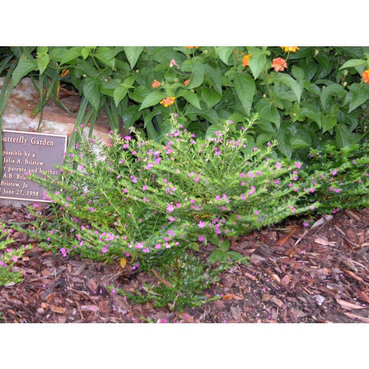 Cuphea-hyssopifolia-002-7-04.JPG