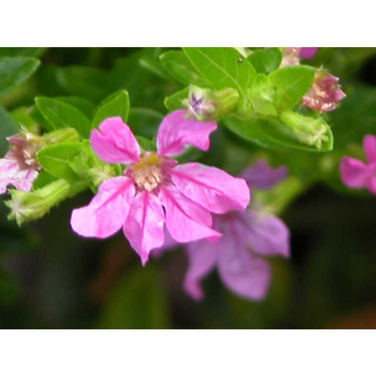 Cuphea-hyssopifolia-004-7-04.JPG