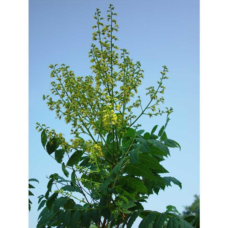 Koelreuteria paniculata 'Rose Lantern'