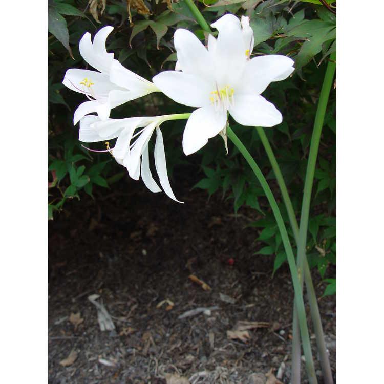 Lycoris longituba var. longituba - long-tube surprise-lily