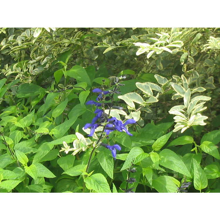 Salvia coerulea 'Black and Blue' - blue anise sage
