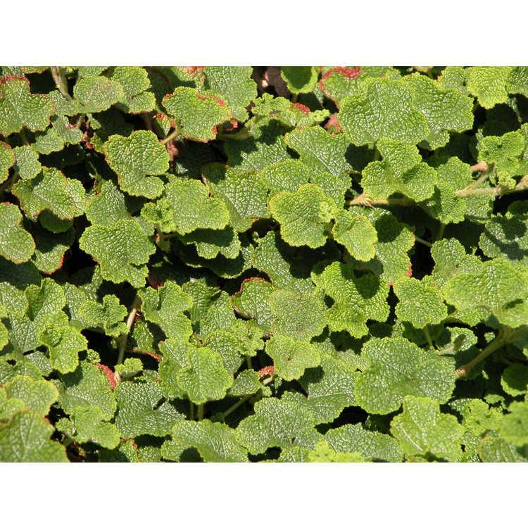 Emerald Carpet Raspberry Rubus Pentalobus Floor Matttroy