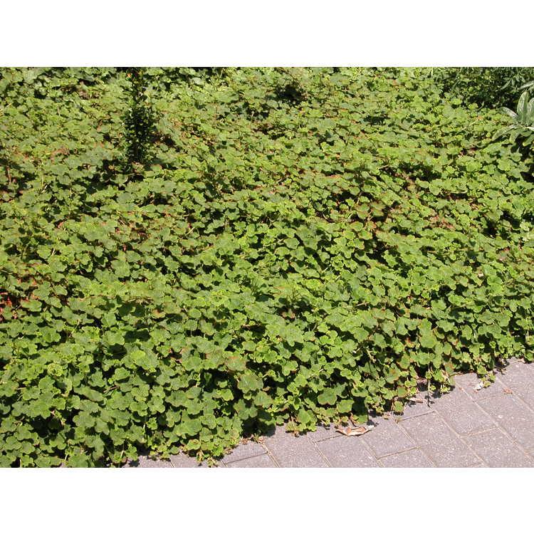 Rubus rolfei 'Emerald Carpet' - creeping raspberry
