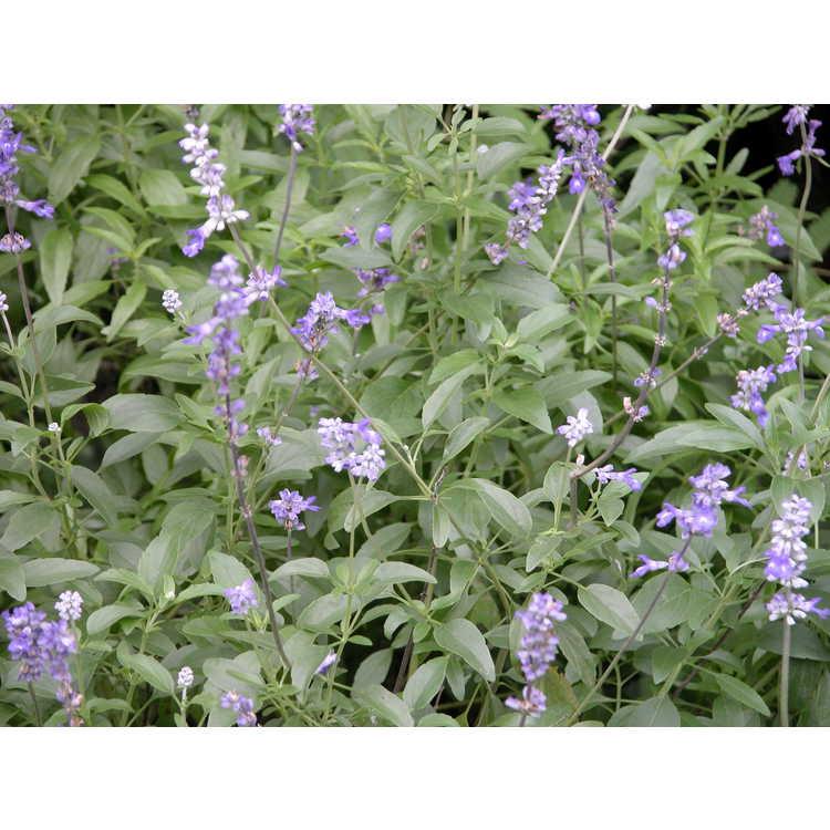 Salvia farinacea 'Blue Bedder' - mealycup sage
