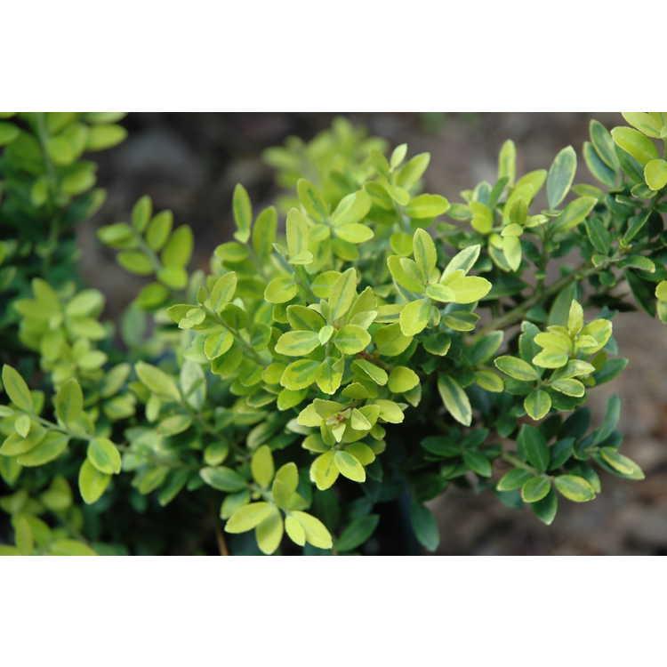 Ilex crenata 'Adorned' - variegated Japanese holly