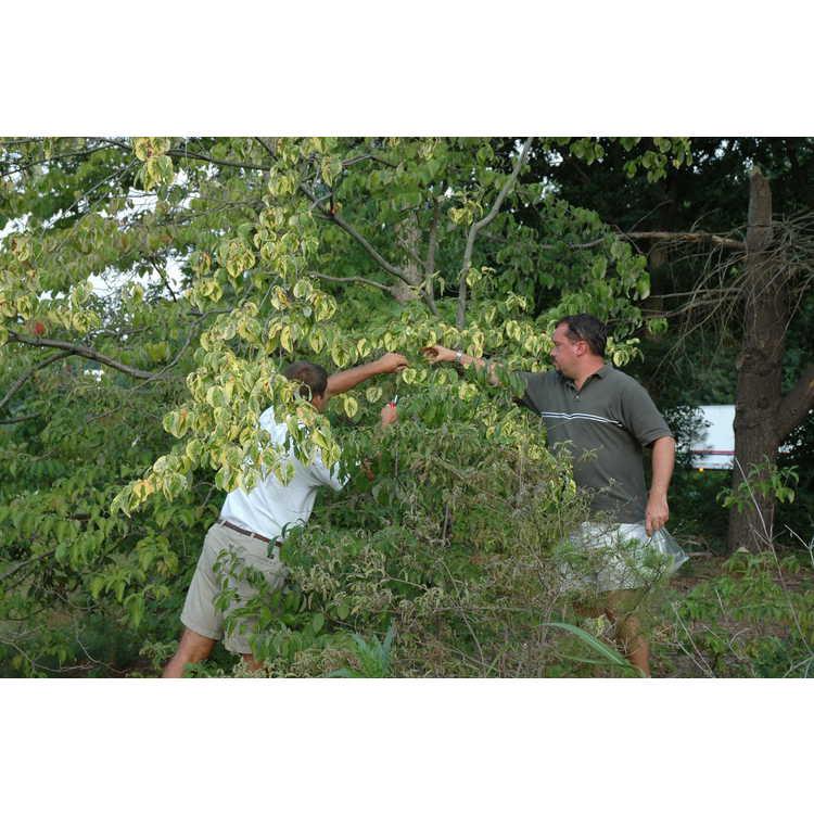 Cornus florida - flowering dogwood