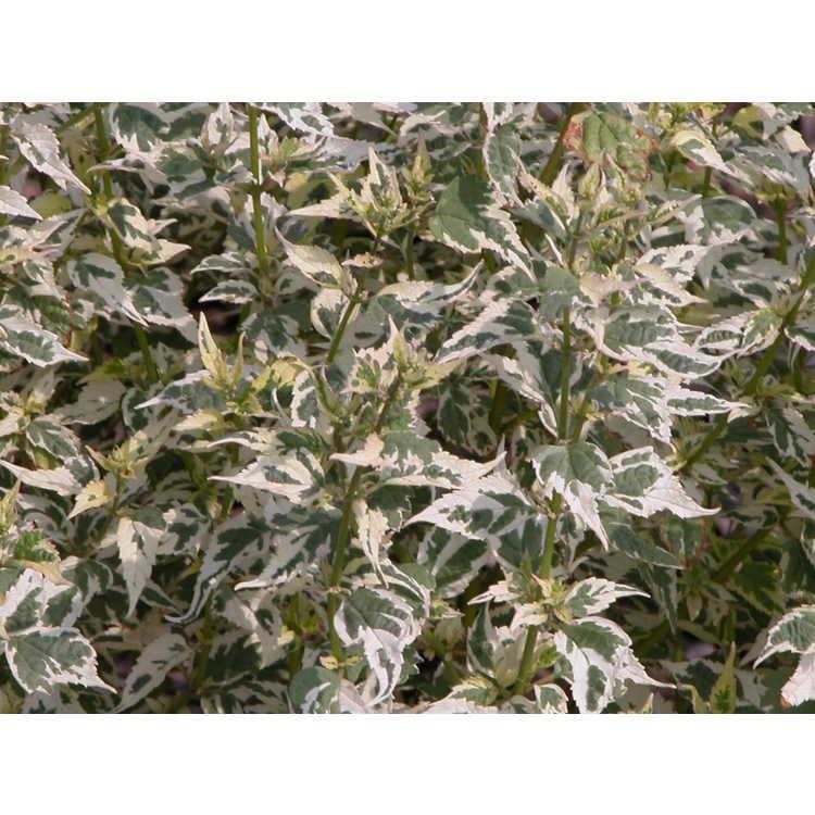 Caryopteris divaricata 'Snow Fairy' - variegated spreading bluebeard