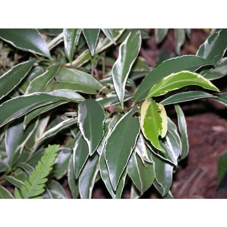 Cleyera-japonica-Fortunei-001-8-04.JPG