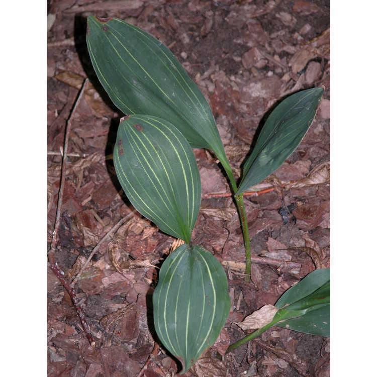 Convallaria-majalis-Aureo-variegata-001-8-04.JPG
