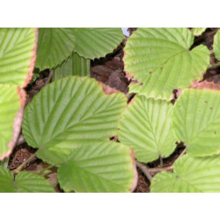 Corylopsis-pauciflora-Aurea-001-8-04.JPG