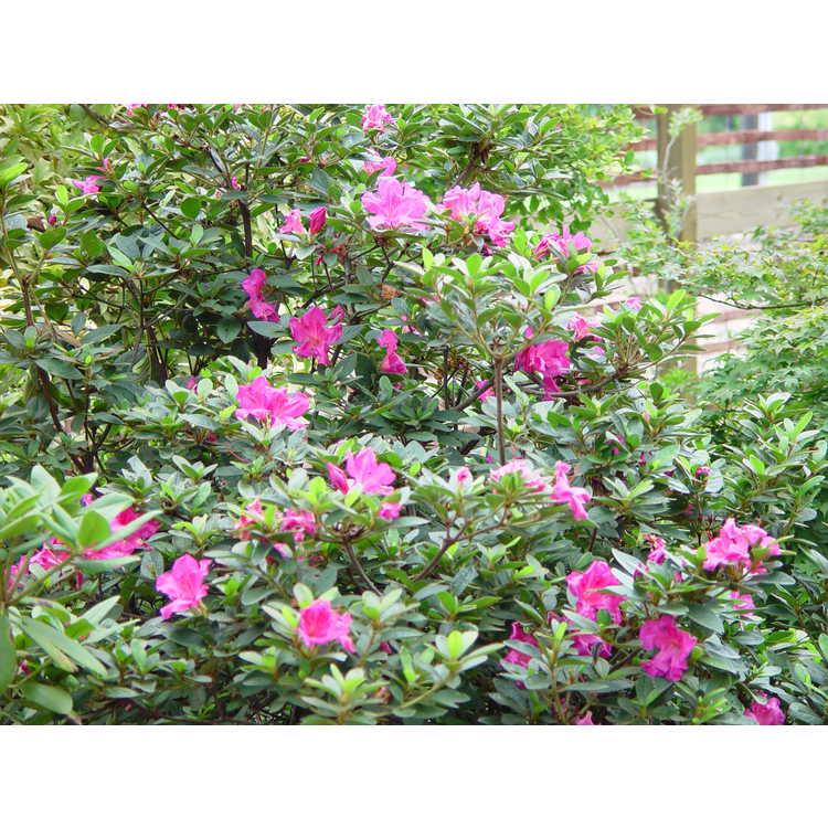 Rhododendron 'Conlec'
