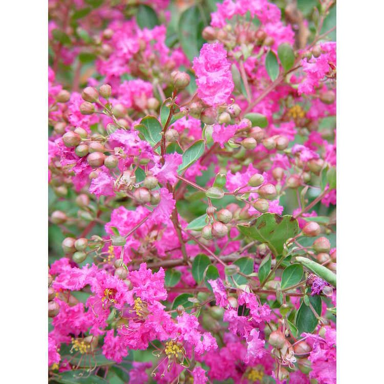 Lagerstroemia indica 'World's Fair' - miniature crepe myrtle