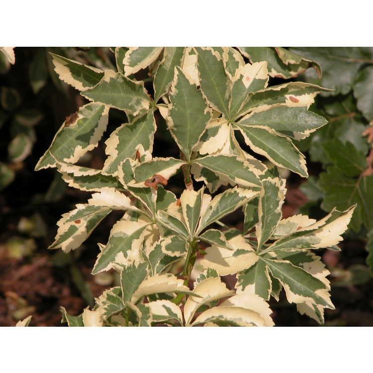 Eleutherococcus sieboldianus 'Variegatus' - variegated five-leaf aralia
