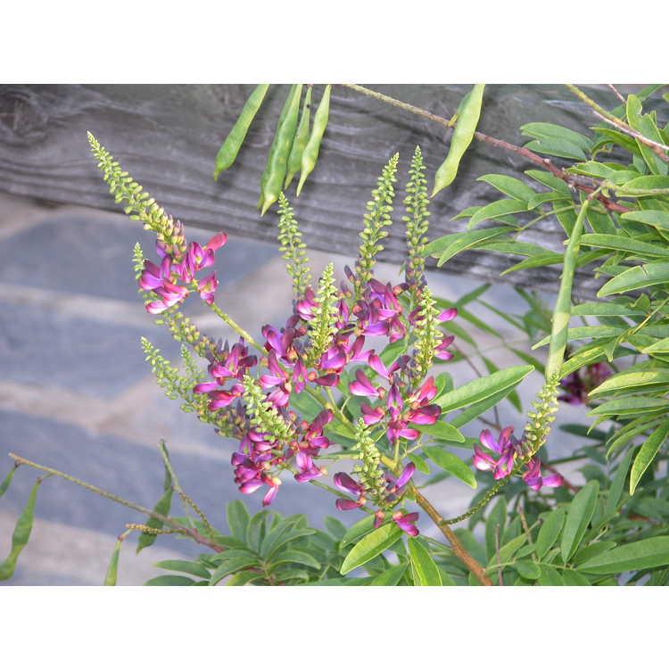 Wisteriopsis reticulata