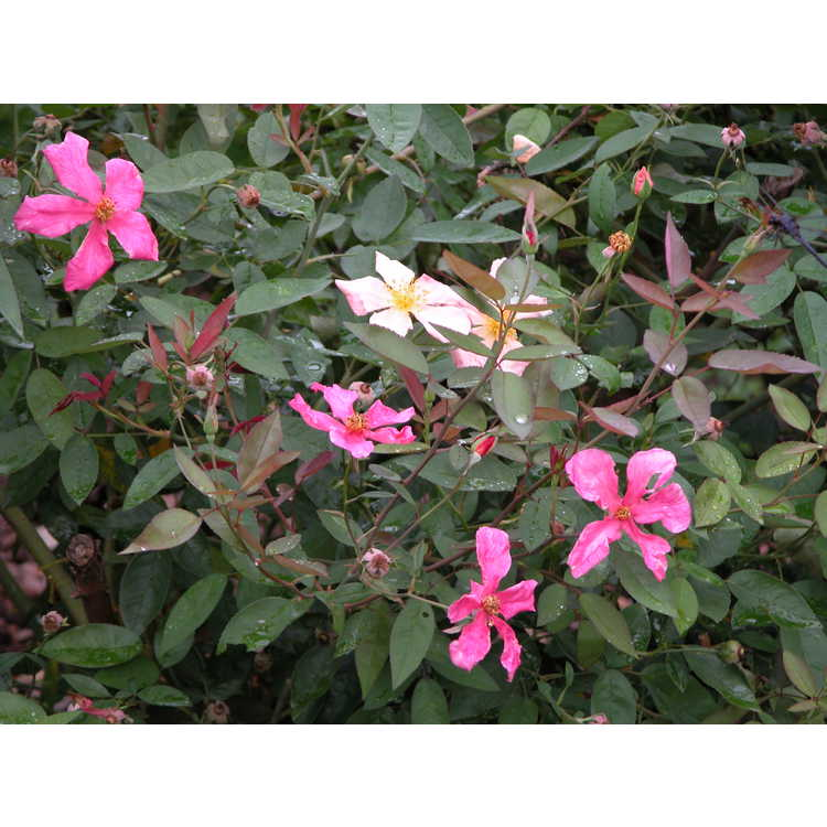 Rosa ×odorata 'Mutabilis' - Seven-sisters Rose