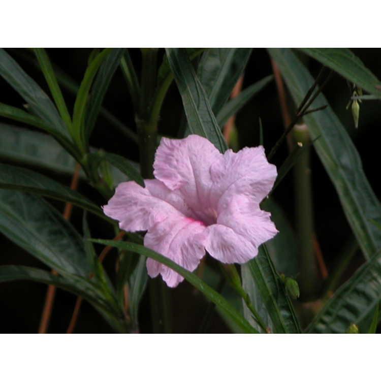 Ruellia simplex 'Chi Chi' - Hardy pink petunia