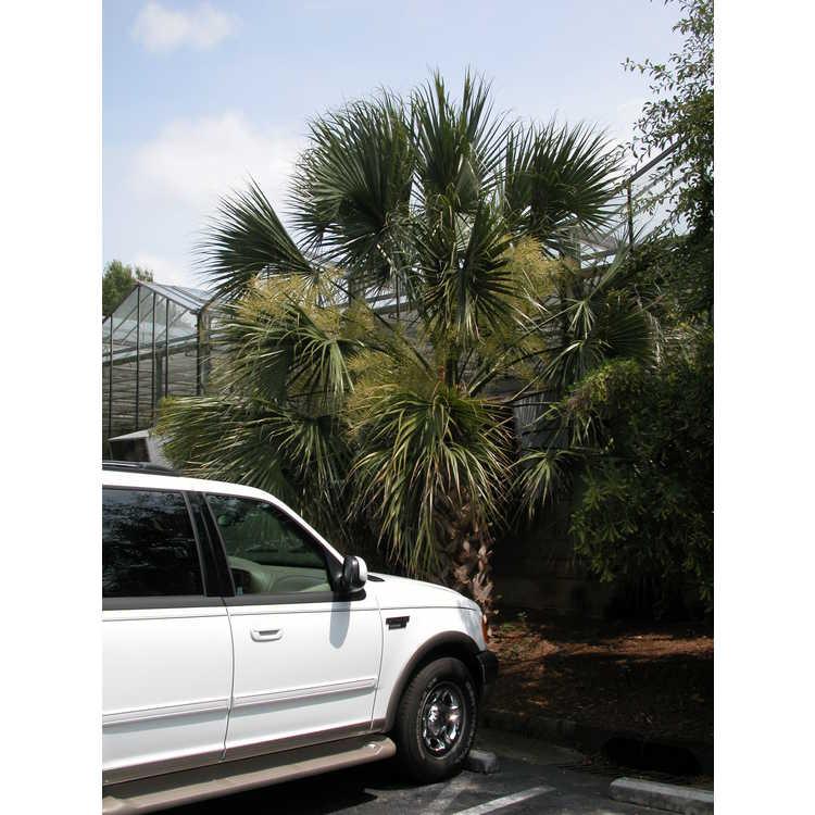 Sabal palmetto - cabbage palmetto