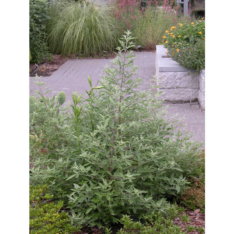 Vitex trifolia 'Variegata' - variegated Arabian lilac