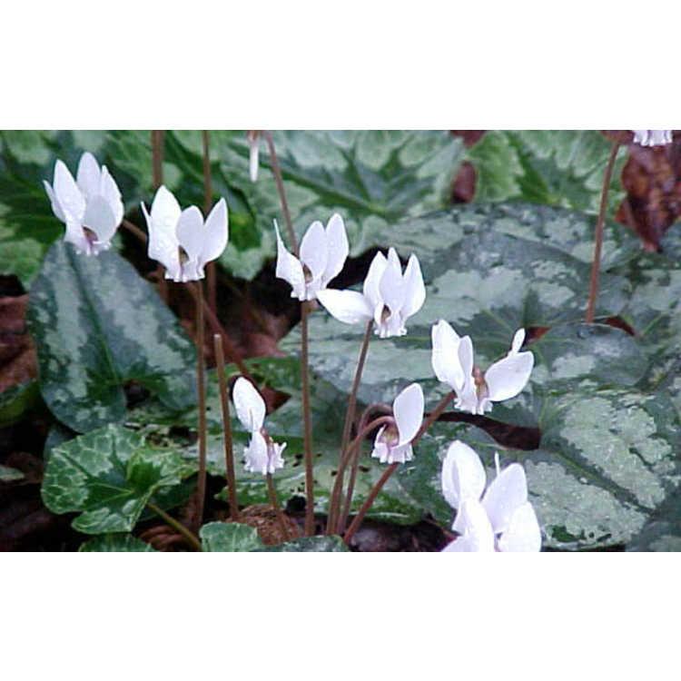 Cyclamen hederifolium hederifolium albiflorum