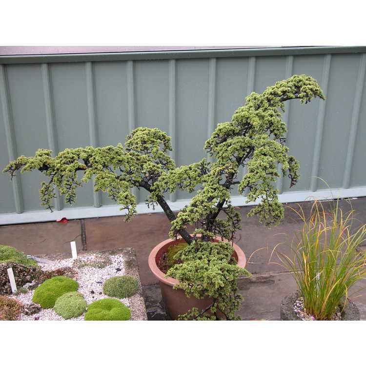 Cedrus libani subsp. brevifolia - Cyprian cedar