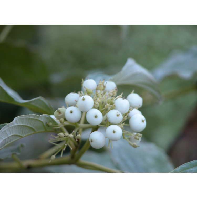 Cornus-sericea-Flaviramea-001-9-04.JPG