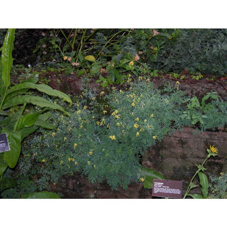 Corydalis-lutea-001-9-04JPG.JPG