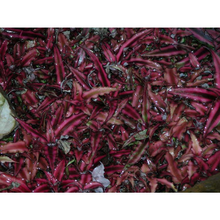 Cryptanthus-bivittatus-Ruby-001-9-04JPG.JPG