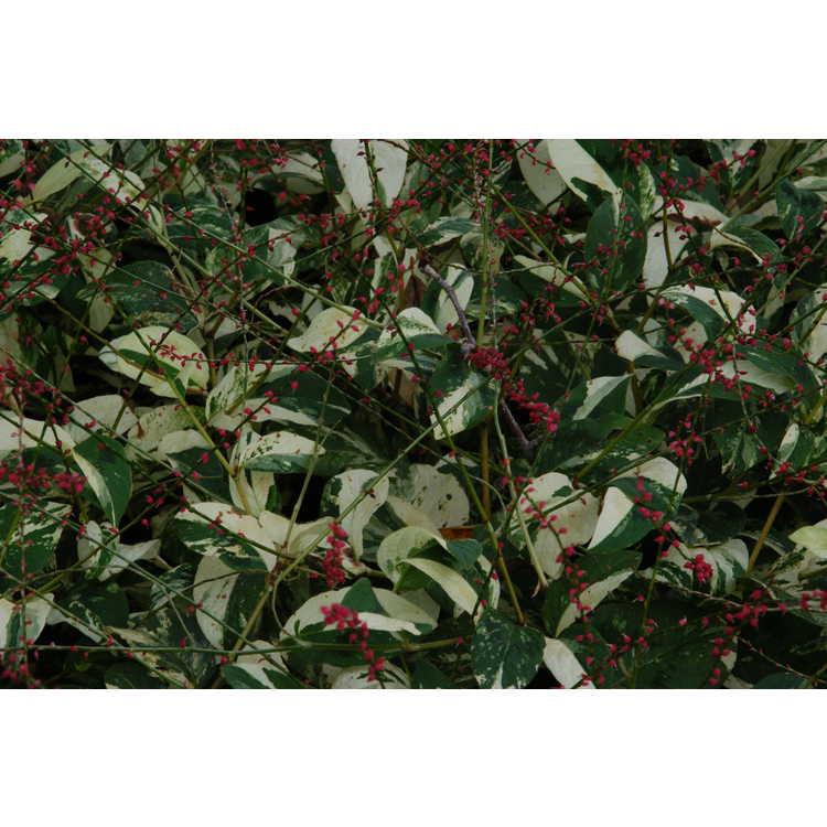 Persicaria virginiana 'Painter's Palette' - variegated Virginia knotweed