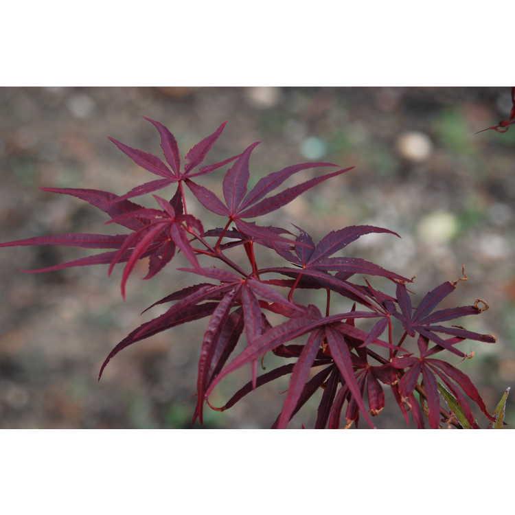 Acer palmatum 'Beni ôtake'
