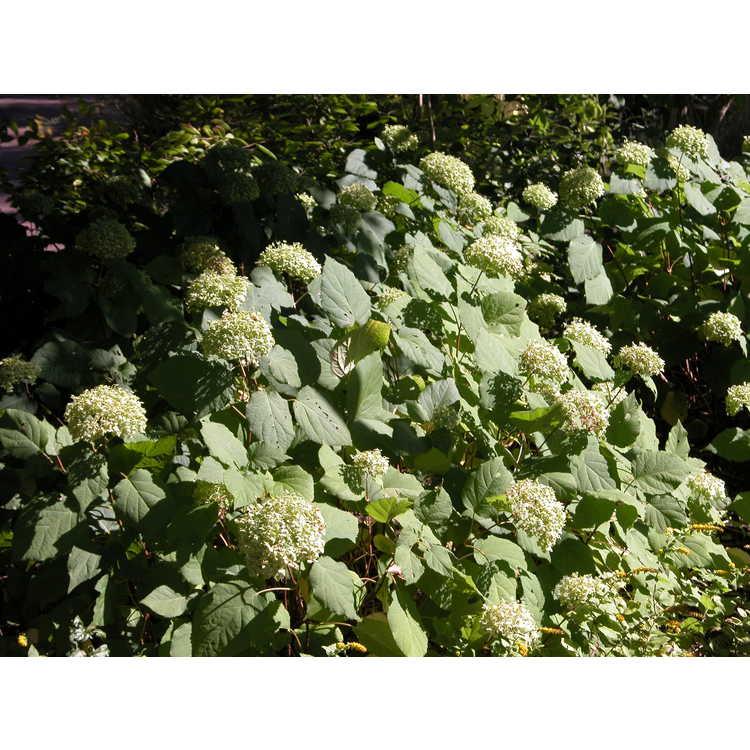 Hydrangea arborescens 'Annabelle' - mophead smooth hydrangea