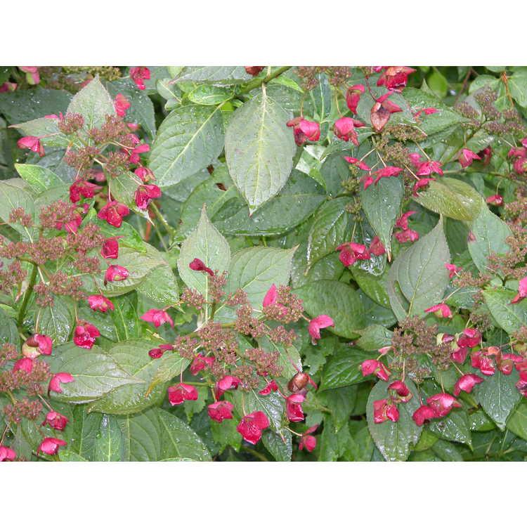 Hydrangea serrata 'Koreana' - mountain hydrangea