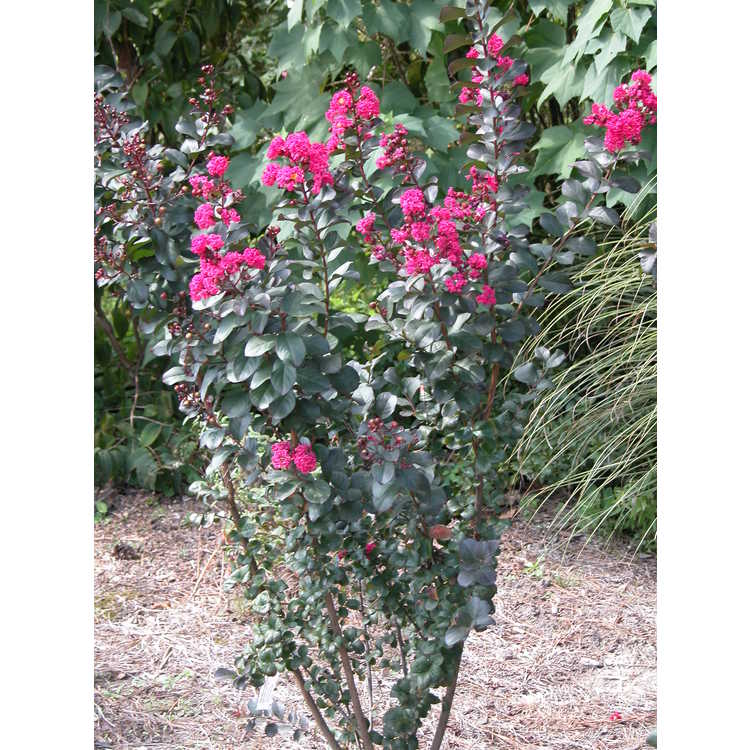 Lagerstroemia indica 'Whit III' - Pink Velour crepe myrtle