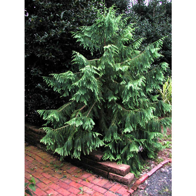 Taiwania cryptomerioides - Taiwan coffin cypress