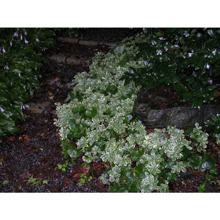 Pachysandra terminalis 'Variegata' - variegated Japanese pachysandra