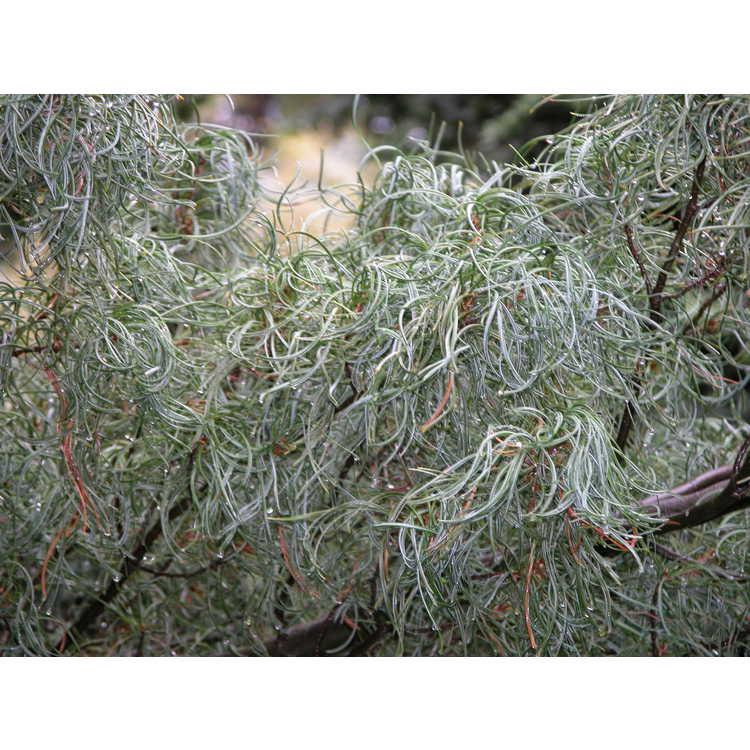 Pinus strobus 'Torulosa'