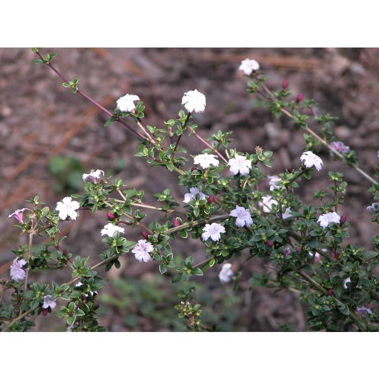 Serissa japonica - Japanese snow rose