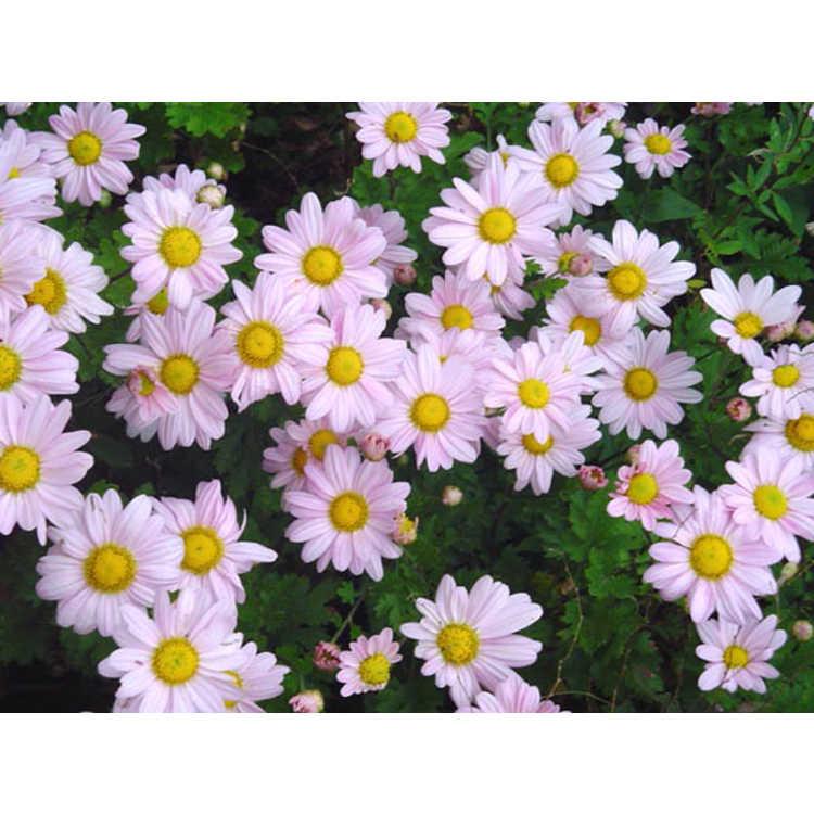 Chrysanthemum (Elizabeth Lawrence pink) - garden chrysanthemum