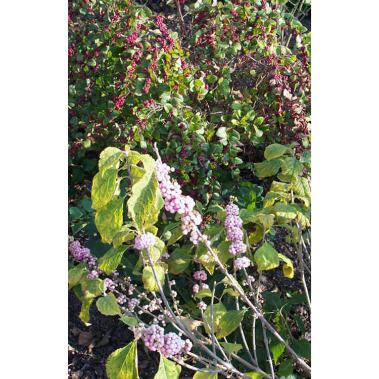 Symphoricarpos ×doorenbosii 'Magic Berry'