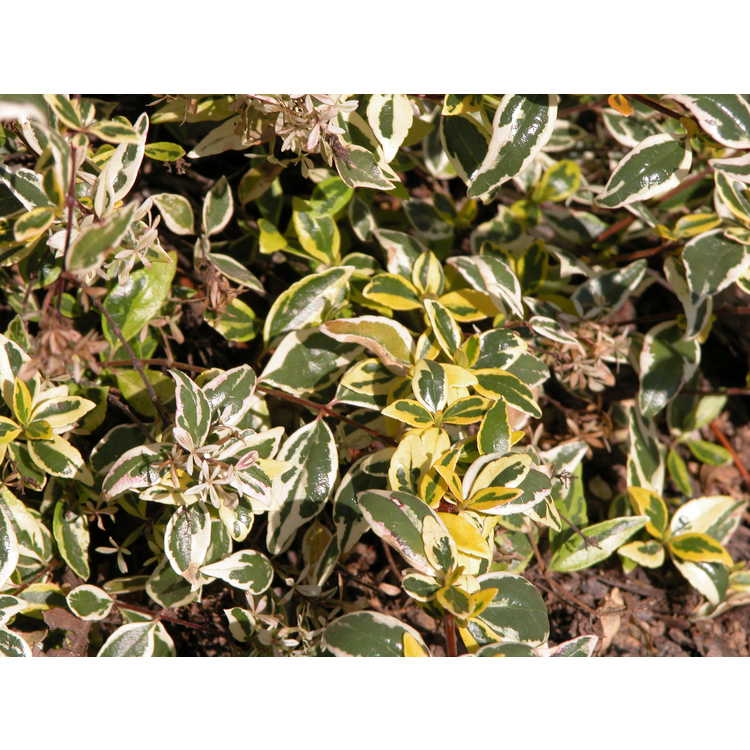 Abelia ×grandiflora 'Hopleys'
