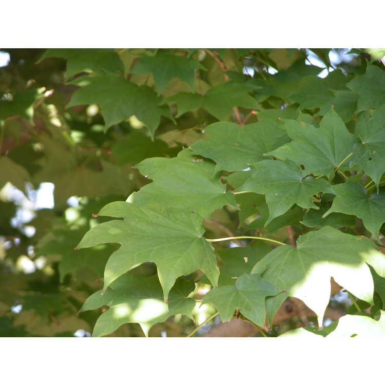 Acer pictum var. mono - painted maple
